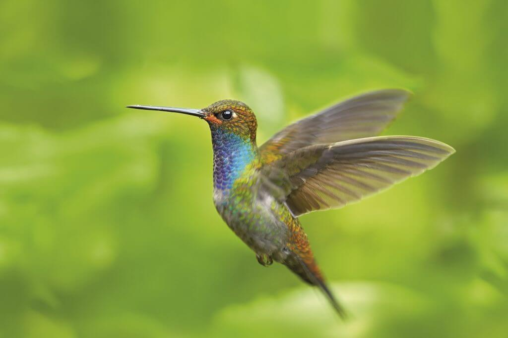 Hummingbird in flight, green forest nature habitat, White-tailed